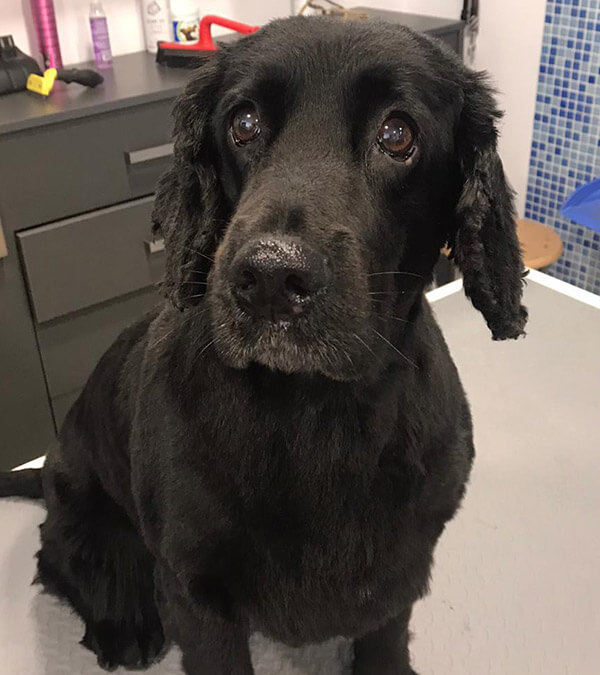limpieza glandulas perro mirasierra
